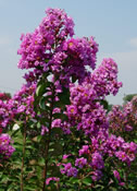 Lagerstroemia 'Catawba' with its striking purple flowers.