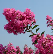 Lagerstroemia 'Hopi' in summer bloom.