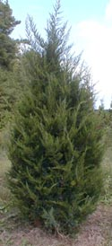 Here is an example of our field grown Juniperus virginia 'Emerald Sentinel'.