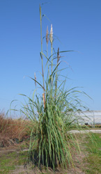 Our tall Saccharum ravannae blowing gently in the breeze.