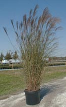 "Here is an example of our Miscanthus ""Gracillimus"" grown in a 7 Gal. container."