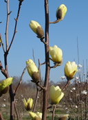 A close-up of gorgeous yellow buds on a Butterfly Magnolia tree.
