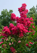 The intense magenta-red blooms of Lagerstroemia 'Tonto'.