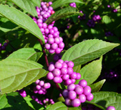 Callicarpa covered with its beautiful purple berries.