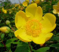 Hypericum 'Hidcote' blooming with bright yellow flowers.