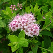 The light pink flowers of Spiraea 'Little Princess' in bloom.