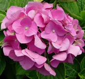 "Photo of our Hydrangea ""Mathilda Gutges"" in bloom."