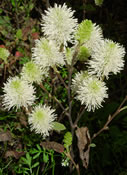 Fothergilla 'Mt. Airy' abloom with white bottlebrush flowers.
