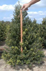 Here you can see the beautiful color and shape of our Ilex 'Microphylla Glossy Leaf'.