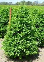 Here is our Green Mountain boxwood which is field grown.