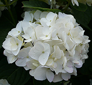 The white blooms of a Hydrangea 'Sister Theresa'.