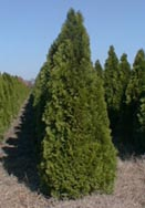 "An example of our field grown Thuja ""Emerald Green"" 4-5' tall."