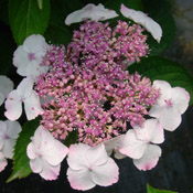 A close-up of a Hydrangea 'Tokyo Delight' bloom.