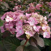A close-up of a Hydrangea 'Twist-n-Shout' bloom.
